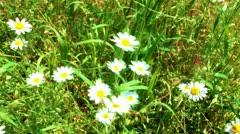 chamomils - stock footage