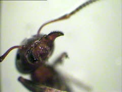 Ant portrait at microscope Stock Footage