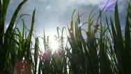 Sugar Cane Bio Energy Crop, Maui, Glimmering Sun Stock Footage