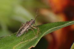 Bug Insect Macro - Hemiptera - stock photo