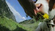 Feeding Cow Stock Footage