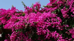 Bougainvillea Stock Footage