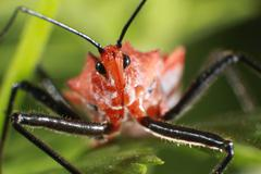 Assassin Bug Insect Macro - Hemiptera Stock Photos