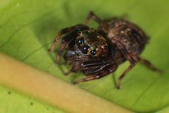Jumping Spider Macro - Araneae Stock Photos