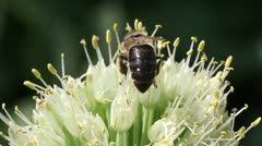 Bee on a flowering onion Stock Footage