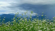 Stock Video Footage of Buckwheat field with mountains and storm cloud in the background.
