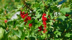 Ripe red currants Stock Footage