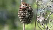 Wasp on his nest Stock Footage
