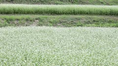 Buckwheat field Stock Footage