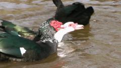 Muscovy Ducks Sequence Stock Footage