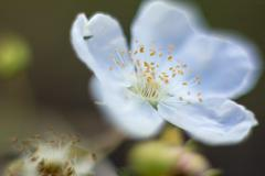 Macro Fallugia paradoxa  or Apache Plume flower in bloom found in Arizona - stock photo