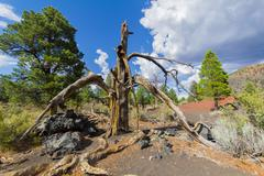 Remnants of a dead tree in the lava sand of Sunset Crater Stock Photos