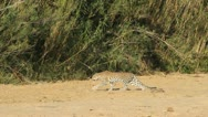 Stock Video Footage of Leopard  walking