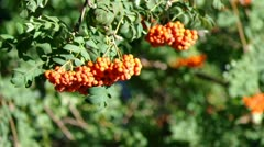 Mountain ash berries by the end of summer ( Sórbus ) ashberry . 3 Stock Footage