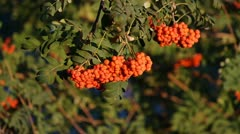 Mountain ash berries by the end of summer ( Sórbus ) ashberry . 5 Stock Footage