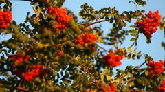 Mountain ash berries by the end of summer ( Sórbus ) ashberry . 6 - stock footage