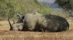 White rhino sleeping in the veld. Stock Footage