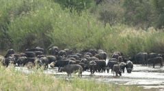 Buffalo in river drinking walking and splashing each another. Stock Footage