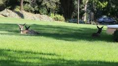 3 Deer Lounging Stock Footage