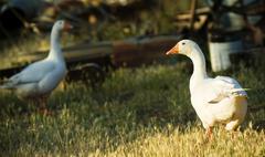 farm geese - stock photo