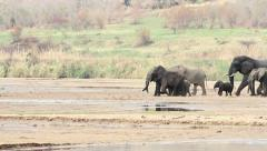 Herd of African elephant walking across river bed Stock Footage