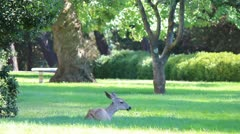 A Deer Chewing Grass In A Park Stock Footage