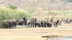 Large herd of African Elephants at the river. Stock Footage