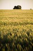 grain fields - stock photo