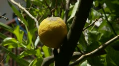 Lemon tree - slow zoom Stock Footage