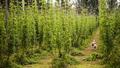 lambs in hops - stock photo