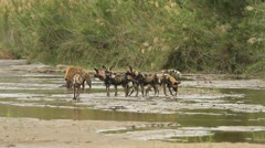 Wild dogs and a hyena with carcass Stock Footage
