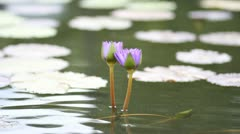 Purple, blue lotus. In ponds with lotus leaf green. Stock Footage