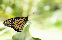 Monarch butterfly perching on leaf Stock Photos