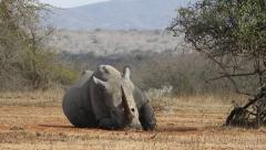 Rhino sleeping and moving its ears. Stock Footage