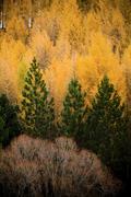 Stock Photo of pine trees