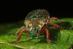 Christmas Beetle Insect Macro - stock photo