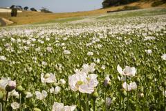 poppy fields - stock photo