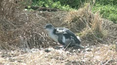 Pinguin molting Stock Footage