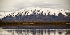 swan lake - stock photo