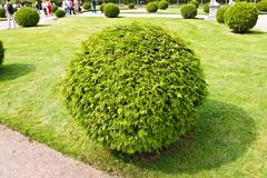 arborvitae round bush - stock photo