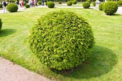 Arborvitae round bush Stock Photos