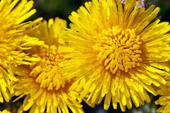 Yellow dandelions (taraxacum) closeup with selected focus Stock Photos