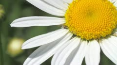 white daisy - stock footage