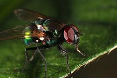Green Tachinid fly Stock Photos