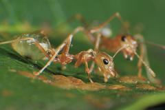 Green Tree Ant Macro - stock photo