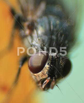 Stock photo of House Fly Insect Macro