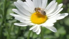 Bee on the white daisy Stock Footage