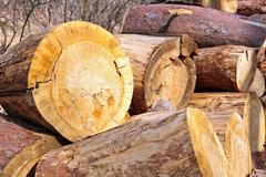 wood stumps - stock photo