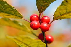 red berries on blurry background - stock photo