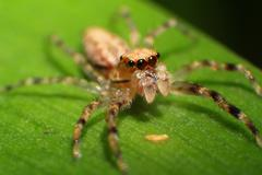 Helpis minitabunda Spider Macro - Araneae Stock Photos
